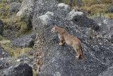 Sub Adult Puma