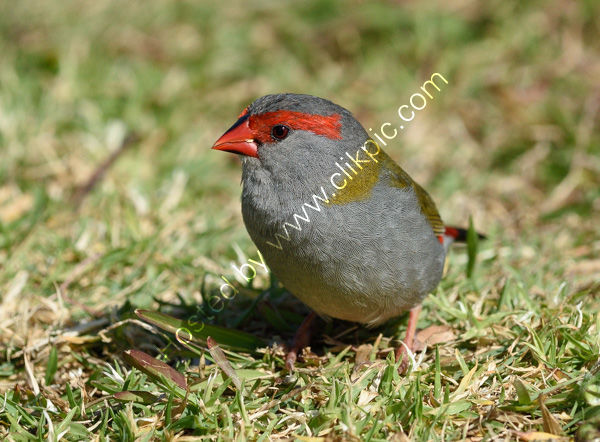 Red Browed Finch (Habituated)