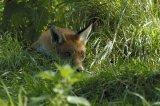 Red Fox Cub (Captive)