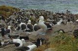 Rockhopper Penguin Rookery / Black Browed Albatross Colony