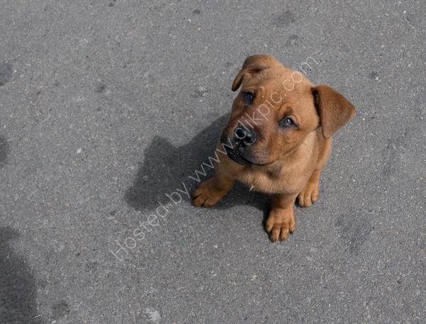 Rottweiler Staffie Cross Pup