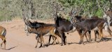 Sable Antelope Herd