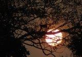 Spider Monkey At Sunrise