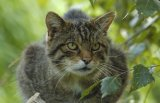 Wildcat (Captive)