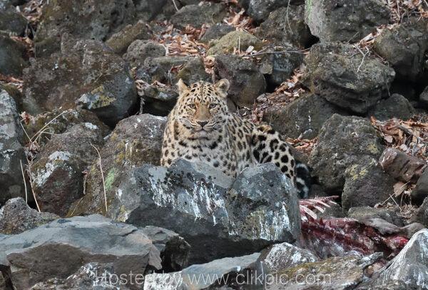Young Male Amur Leopard