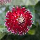 Dahlia II, red + white