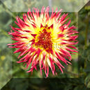 Dahlia III, red + yellow