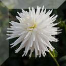 Dahlia IV, white