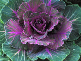 """Ornamental Cabbage"""