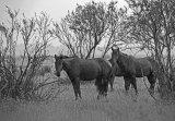 25. Letea Wildpferde