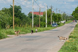 Dorf Hunde