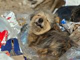14. Ältere Hund auf der Müllkippe bei Miercurea Ciuc.