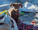 12. Welpe auf der Müllkippe bei Miercurea Ciuc