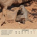Zebramanguste/banded mongoose