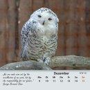Schneeeule/snowy owl