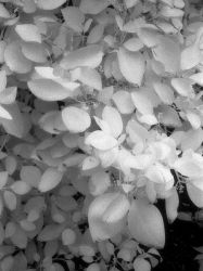 Infra Red Leaves