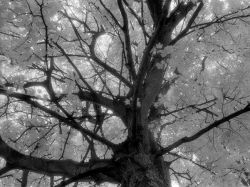 Infra Red Tree