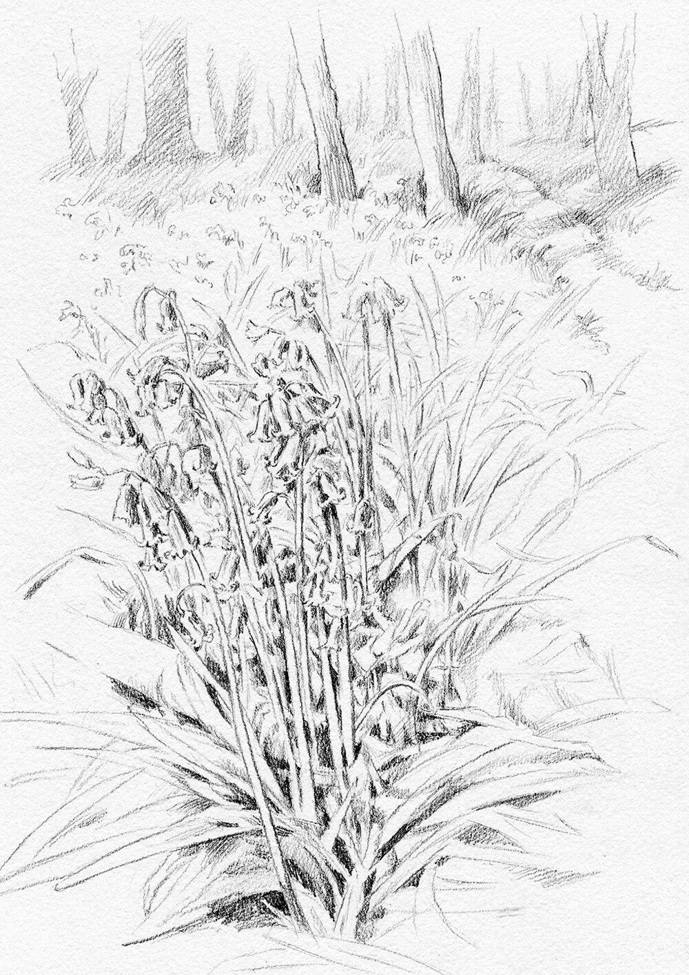 sallybarton_pencildrawing_Bluebells_Kent
