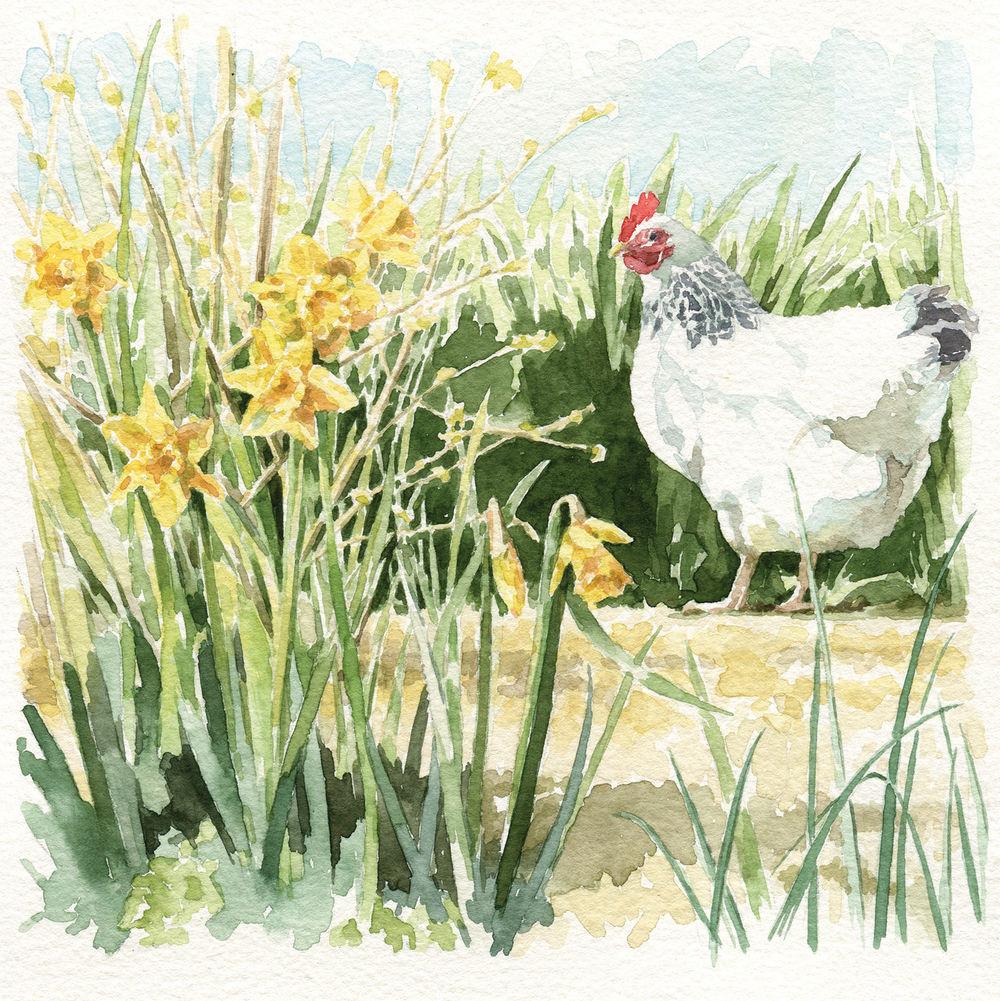 watercolour illustration_sally barton_chickens_GreetingsCard