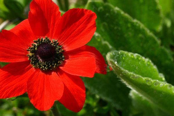 Poppy, Beth Chatto's Garden, Essex.