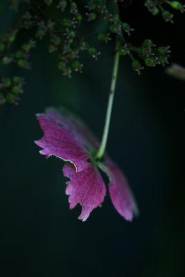 Japanese Anemone. Sissinghurst, Kent.