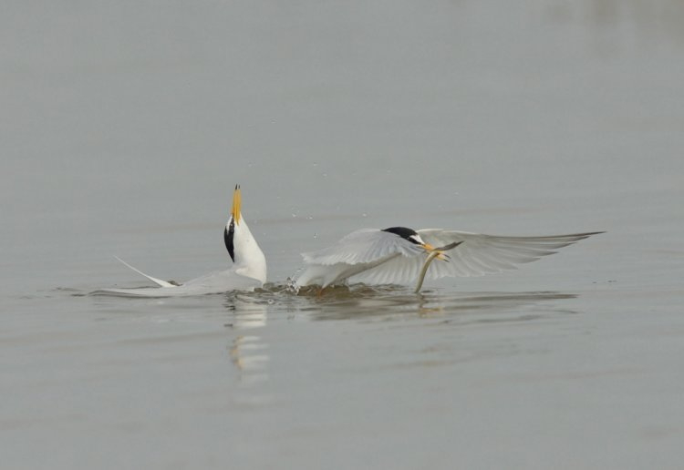 Displaying Pair of Little terns