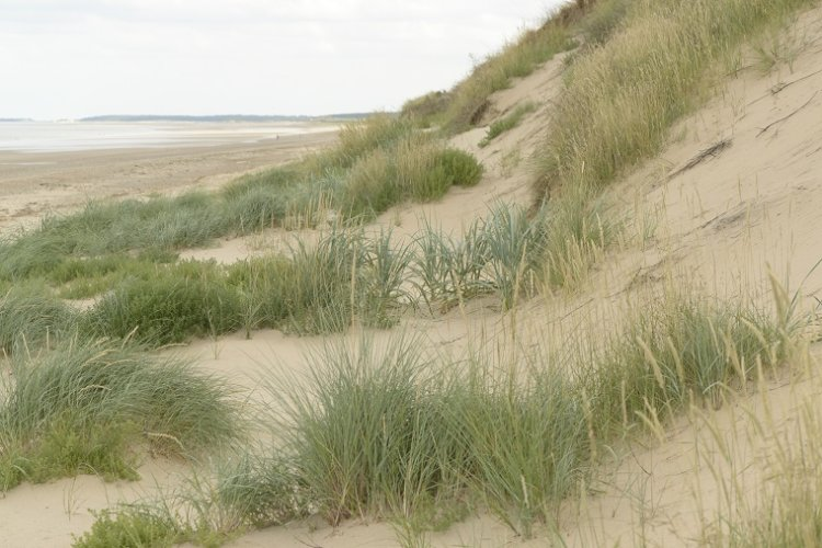 Yellow Dune Scolt Head  with Lyme and Marram Grass