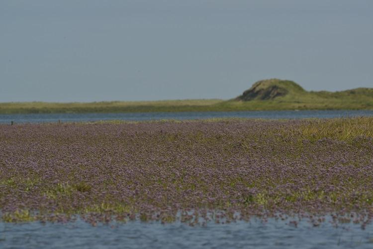 Sea Lavender meadow Brancaster Staithe
