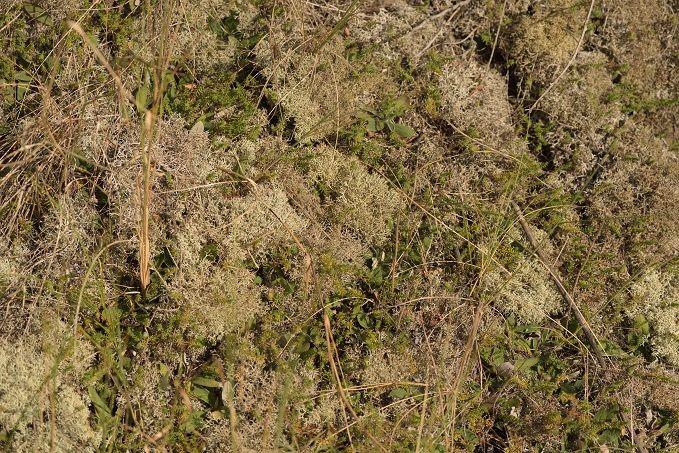 Plant Scolt Lichen