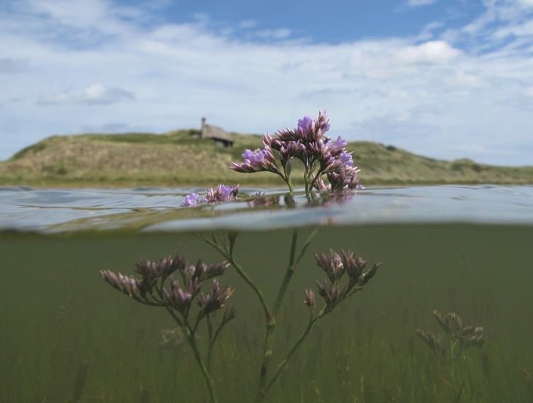 Scolt Head Hut Sea Lavender