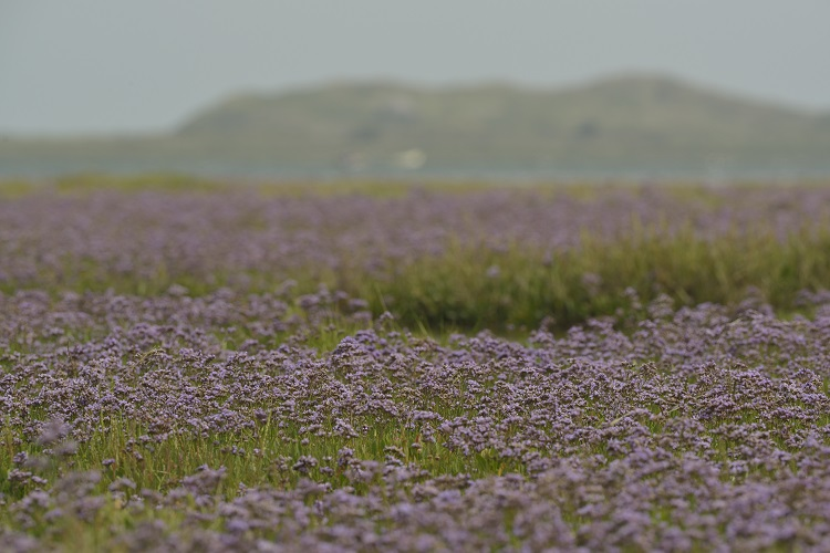 Scolt Head Sea-Lavender meadow