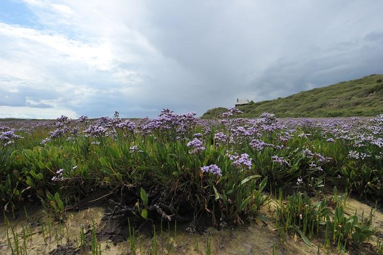 Sea Lavender meadows on Hut Marsh