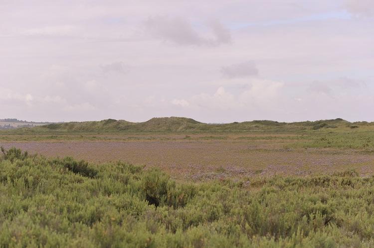 Sea Lavender Meadow Scolt Head