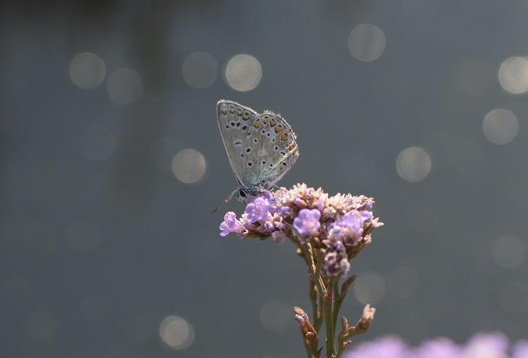 Common Blue on Sea Lavender