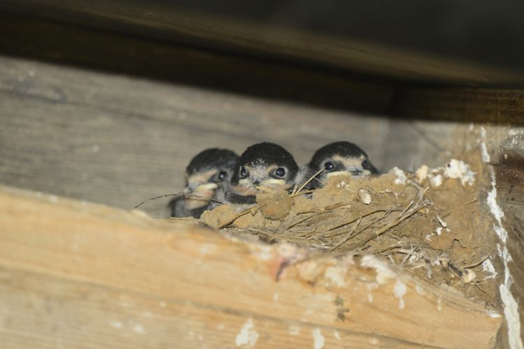 Swallow Chicks in a nest on the Hut