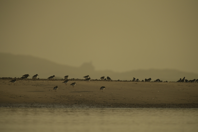 Oystercatchers on the old (inner)  Far Point