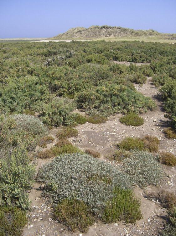 Lower marsh Saltmarsh vegetation