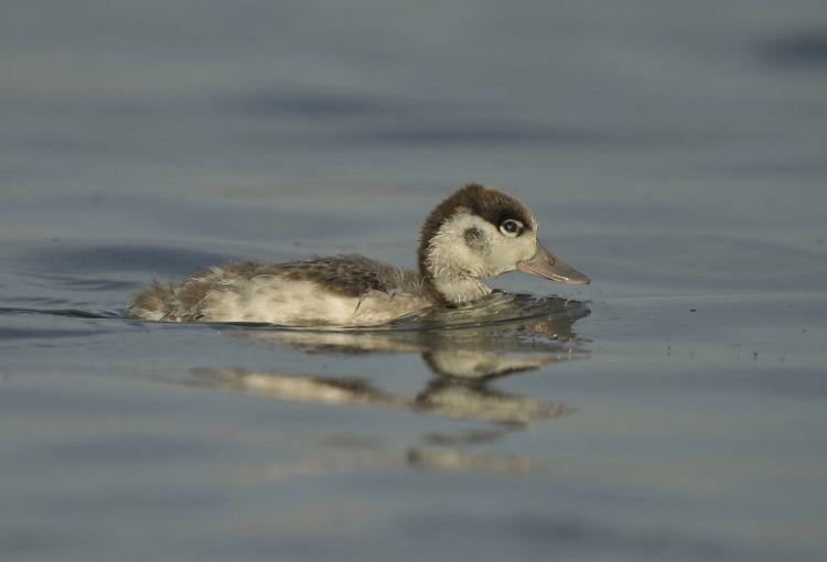 Shelduck duckling
