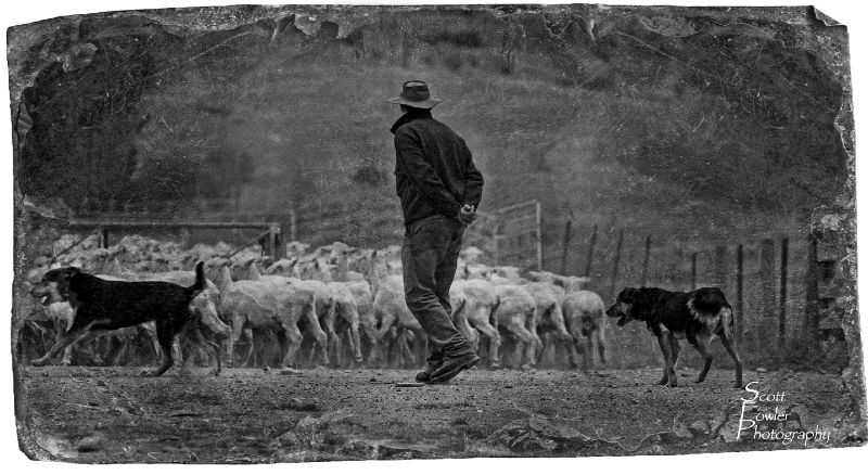 Putting the sheep in