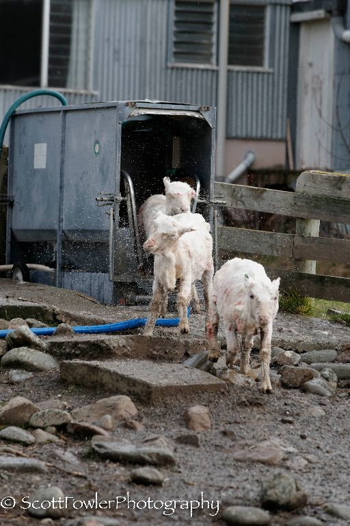 Shearing August 2016-41