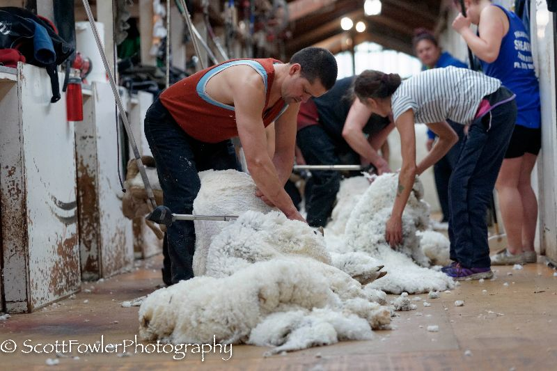 Shearing August 2016-52