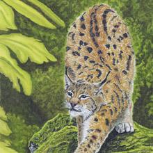 Eurasian Lynx Print
