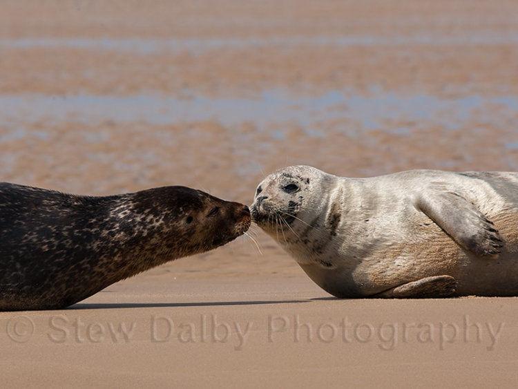 Kissing Seals