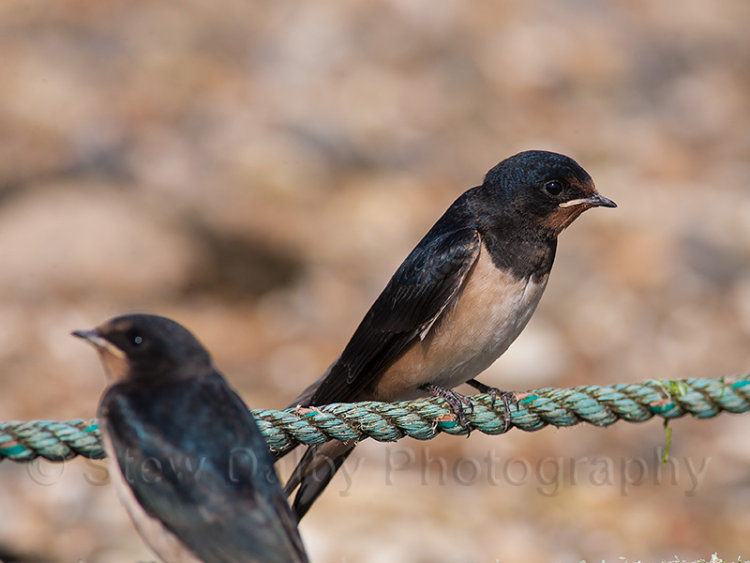 Swallows on Mooring Ropes at Wells Harbour