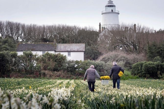Waitrose & Parners Narcissi in the Isles of Scilly.
