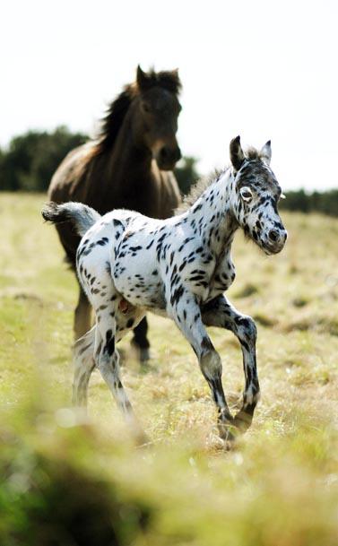 Spoty Dartmoor foal