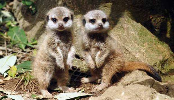 Baby meerkat twins