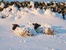 Sheep on Winnats