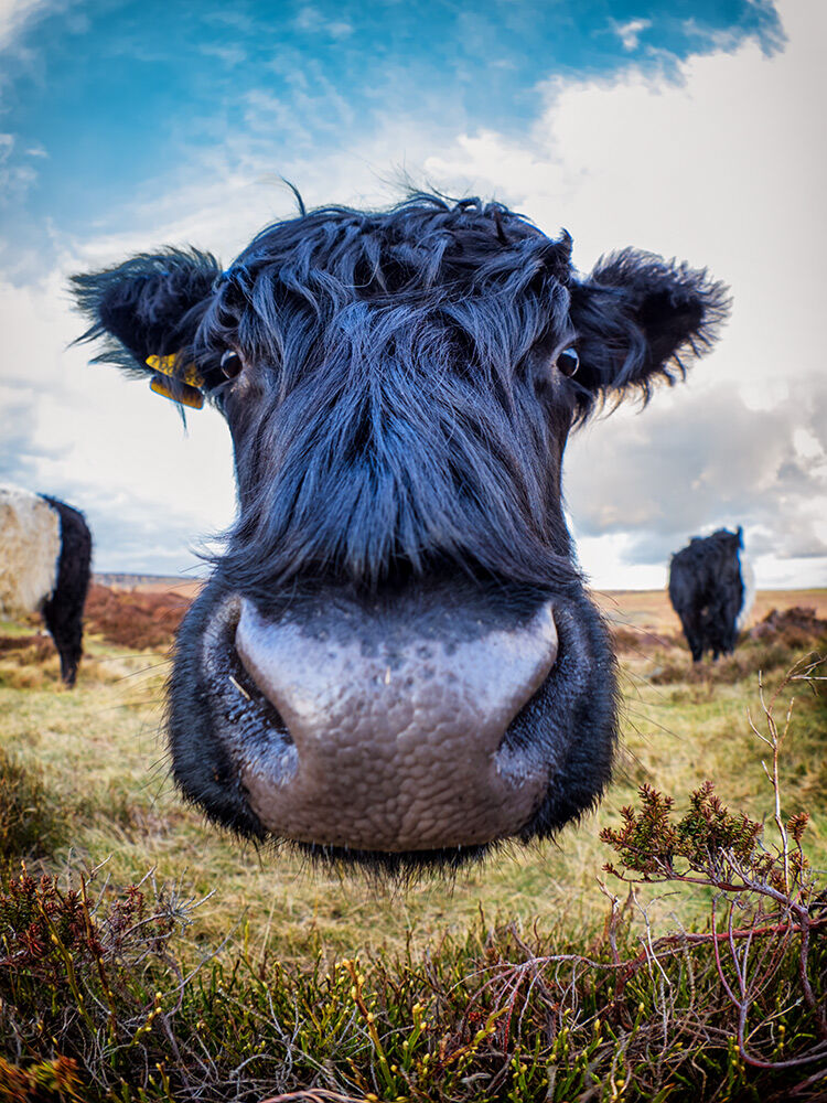 Close encounter of the bovine kind