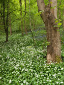 Wild garlic in Cressbrook Dale